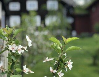 Epleblomster foran huset til Sigrid Undset, Lillehammer.