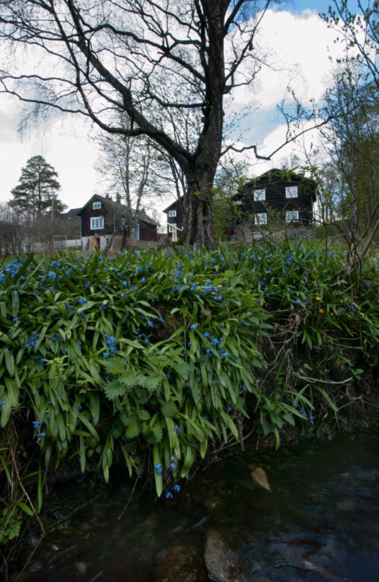 Hagen på Bjerkebæk med scilla i forgrunnen