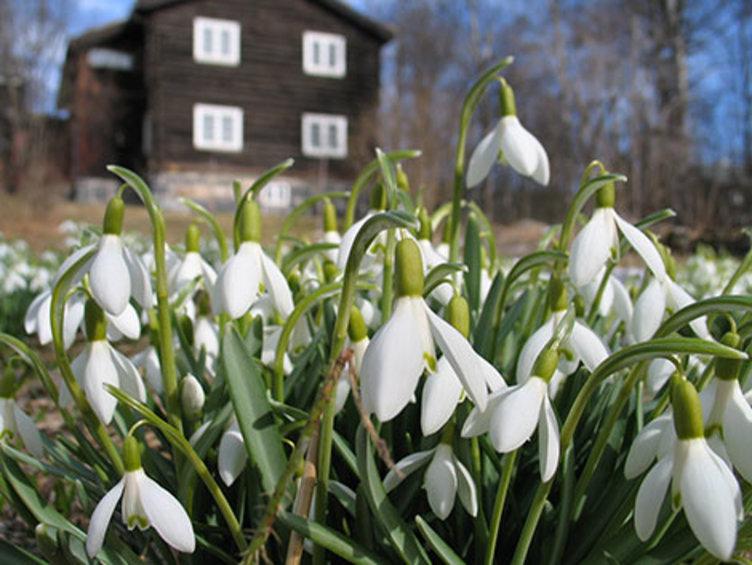 Sneklokker i hagen på Bjerkebæk Sigrid Undsets hjem